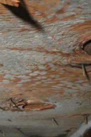 picture of mold in attic, mold in attic on ceiling