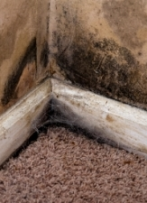 Types of Black Mold