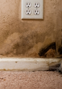 Black mold on wall and in carpeting