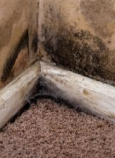 Black Mold in Carpeting